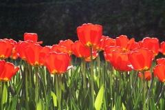 Blumen-Tulpen-Fruehlingsblumen-Fruehling-Farben