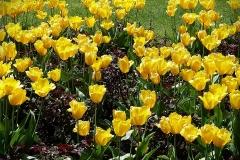 Blumen-Tulpen-Gelb-Pflanzen-Natur-Fruehling-Bluete