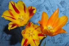 Blumen-Tulpen-Gelb-Schöne-Hell