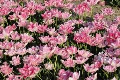 Blumen-Tulpen-Niederlande-Feld-Fruehling-Bluete