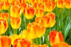 Blumen-Tulpen-Orange-Rot-Wächst-Blueten-Pflanzen