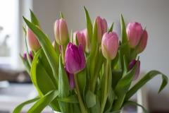 Blumen-Tulpen-Rosa-Violett-Fruehling-Natur-Strauss
