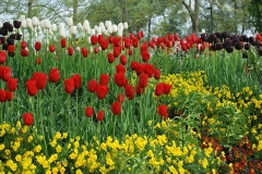 Blumen-Tulpen-Rote-Blumen-Gelbe-Blumen-Weiße-Blumen