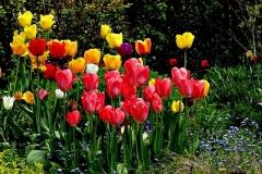 Blumen-Tulpen-Schönheit-Natur-Pflanze-Farbige