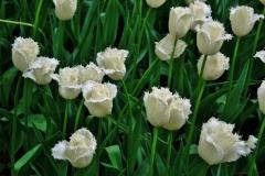 Blumen-Tulpen-Weiß-Feld-Garten-Botanischen-Bluete