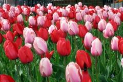 Blumen-Tulpen-Weiß-Rot-Wächst-Blueten-Pflanzen1