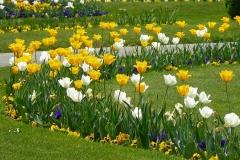 Blumenbeet-Tulpen-Tulpenbluete-Blumen-Tulpenfeld