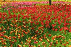 Blumenfeld-Wiese-Tulpen-Bluetenmeer
