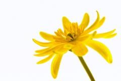 Butterblume-Flora-Blume-Isoliert-Leben-Stempel